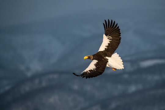The Steller's sea eagle, Haliaeetus pelagicus  The bird is flying in beautiful artick winter environment Japan Hokkaido Wildlife scene from Asia nature. came from Kamtchatka..