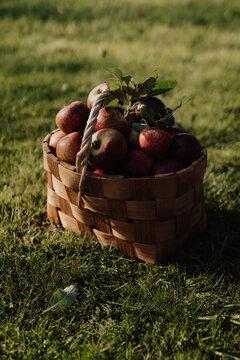 Close up of apples in basket on grassy landscape