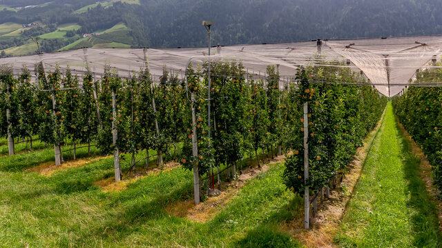 Intensive apple plantations in Val Venosta, Italy, are protected by nets at the top and have irrigation systems for the summer