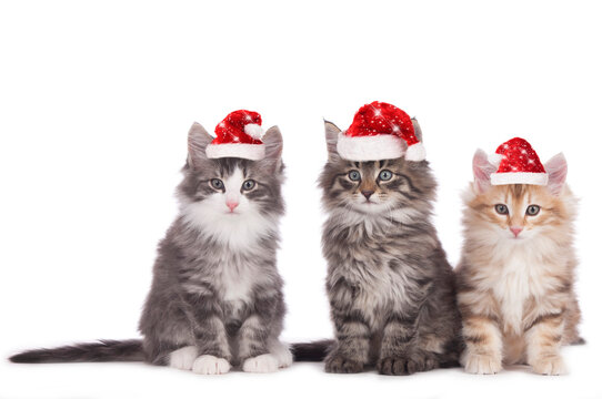 Three norwegian forest kitten side by side with santa hats