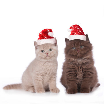 Two british shorthair and highland kitten with santa hats