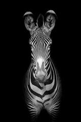 Fototapeta Grevy's zebra (Equus grevyi)