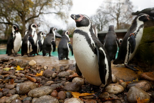 Penguins are seen inside the ZSL London Zoo