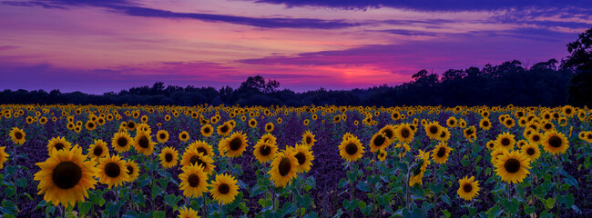 Sunset and sunflowers in Hampshire