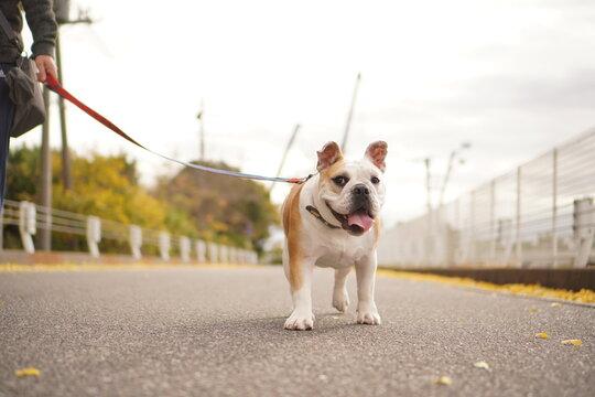 イングリッシュブルドッグ 子犬 散歩2 写真69