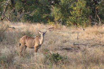 Großer Kudu / Greater Kudu / Tragelaphus strepsiceros.