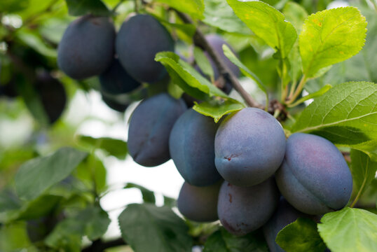 Purple fruits of a Stanley prune plum in orchard