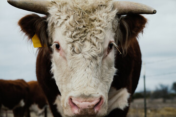 Wall Mural - Curly hair on head of Hereford bull with horns close up.