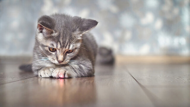 Grey tabby kitten playing with laser pointer image