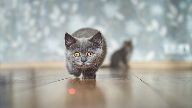 Kitten playing with laser pointer