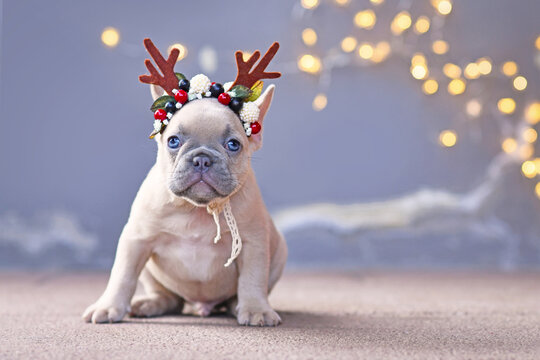 French Bulldog dog puppy wearing seasonal Christmas reindeer antler headband with autumn berries sitting in front of gray wall with chain of lights