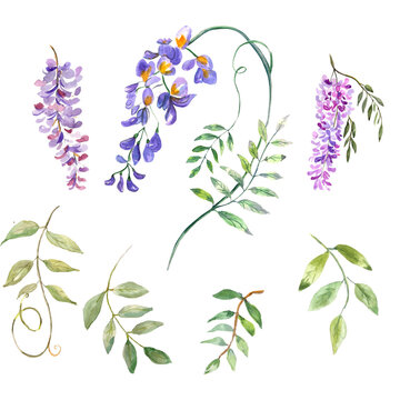 Watercolor illustration. Flora set. Twigs of blooming wisteria and branches with leaves. Elements for creating a floral design.