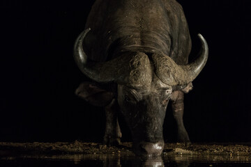 A low angle photo of Cape buffalo drinking in the dark.