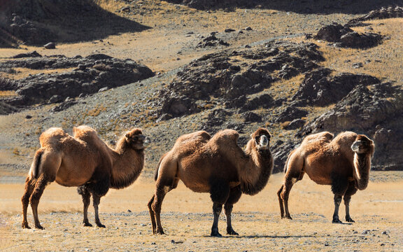 Three two-humped camels in the Altai mountains. Russia