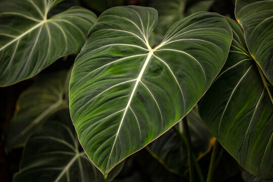 View of tropical philodendron melanochrysum plant