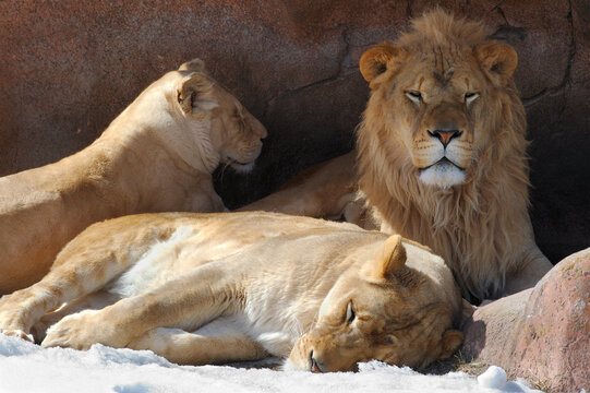 Three lions in a den in winter with snow