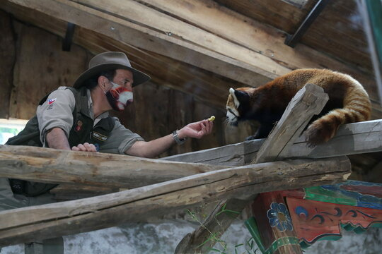 Chilean zoo introduces rare red pandas