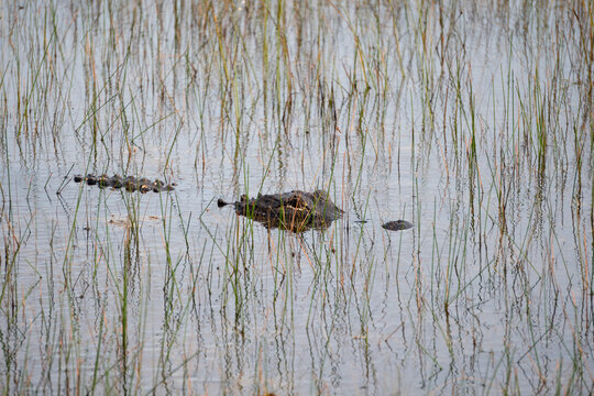 Alligator lurking in the water and grasses in Everglades National Park, Florida