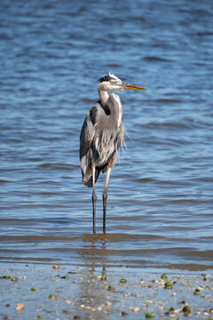 Great blue heron standing in shallow water at Anastasia State Park Florida