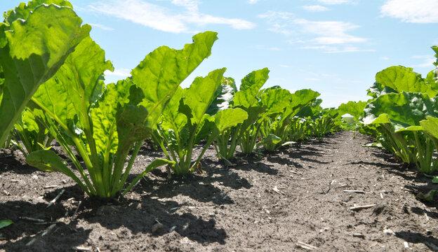 On the farm field grow sugar beets