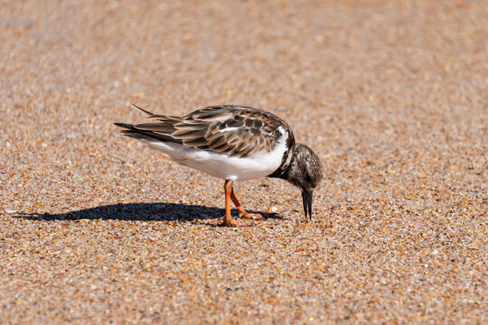 Plover looking for food in the sand at Anastasia State Park Florida