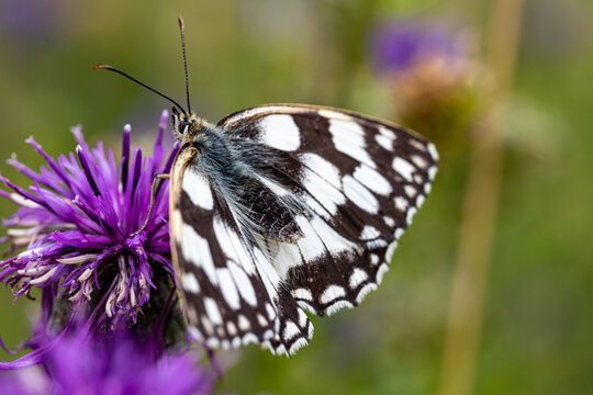 Marbled white butterfly galathea melanargia  on flower