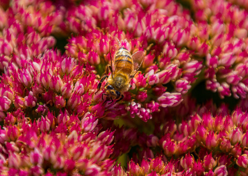 A honey bee is getting nectar from red Sedum 'Autumn Joy' flowers.