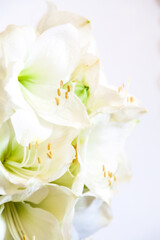 Amarillis bianco