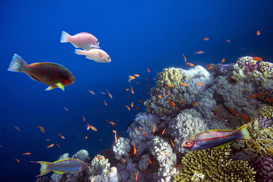 Tropical fish and corals. Red Sea