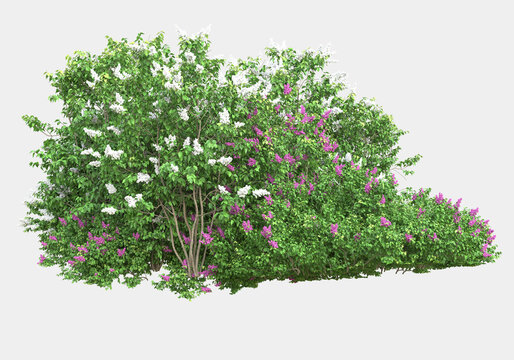 Wild bush with flowers isolated on grey background. 3d rendering - illustration