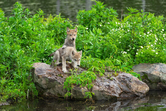 Grey Wolf (Canis lupus) Pups Paw on Back on Island Rocks Summer