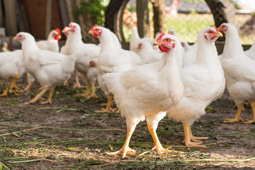 Free range farm young chicken broiler