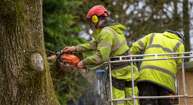 Hampshire,England, UK. 2020. Trainee tree surgeon felling an Ash tree from cherry picker platform. Under instruction from trainer person.