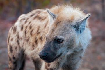 Single spotted hyena closeup, scientific name crocuta crocuta, closeup captured in Kruger National Park, South Africa