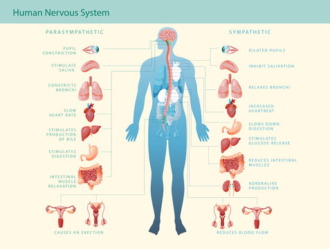Human nervous system medical vector illustration diagram with parasympathetic and sympathetic nerves and all internal organs connected via the brain and spinal cord. Complete guide.
