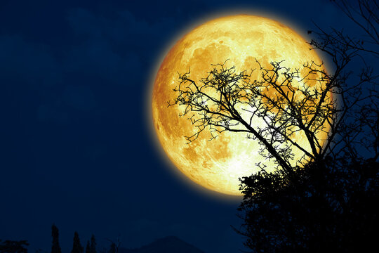 Super sturgeon moon and silhouette dry branch tree in the dark night sky