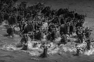 Fototapeta A herd of Gnu crossing the Mara River- Tanzania