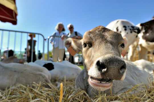 Smiling of a cow on a agricultural show