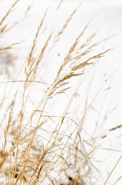 grass in the wind. minimalistic field grasses in winter in beige colors