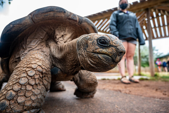 Giant Tortoise with next extended walking along the ground