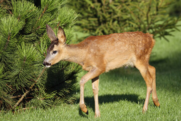 The European roe deer (Capreolus capreolus) walking along the grass. Young roe deer on green grass with green background.