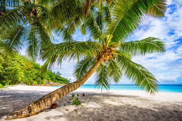 palm tree on tropical beach anse georgette in paradise on praslin, seychelles