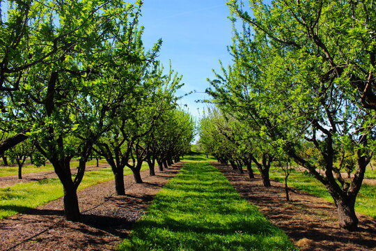 Orchard in the spring before almond blossoms. Between two rows of almond trees. Professional conventional almond orchard.