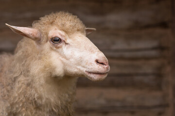 Close up of a muzzle sheep. Animal looks away on wooden background. Breeding domestic animals. Meat and fur farm production.