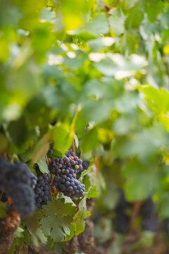 Red wine grape bunch growing on vine.