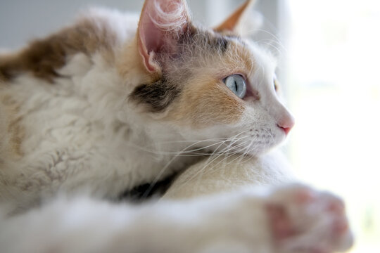 Close up of a LaPerm cat from the side.