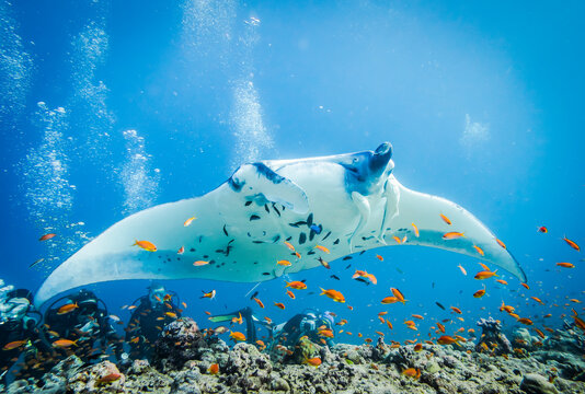 Huge Manta Ray with Clingfish over the bottom of the Indian ocean