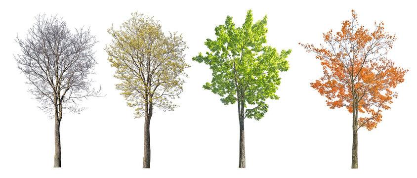 four seasons medium maple  isolated on white