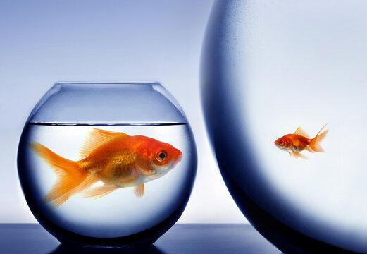 Big and small goldfish
