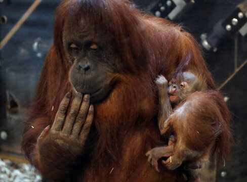 Eleven-day-old baby orangutan of Sumatra, named Mathai is pictured with its mother Sari at the Pairi Daiza wildlife park in Brugelette